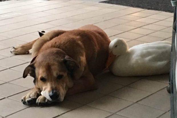 Hund und Ente kuscheln