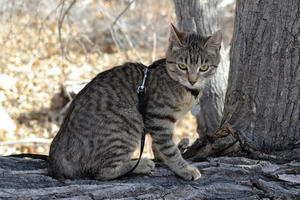 cat-american_bobtail_shorthair-a_lovely_american_bobtail_with_tabby_markings