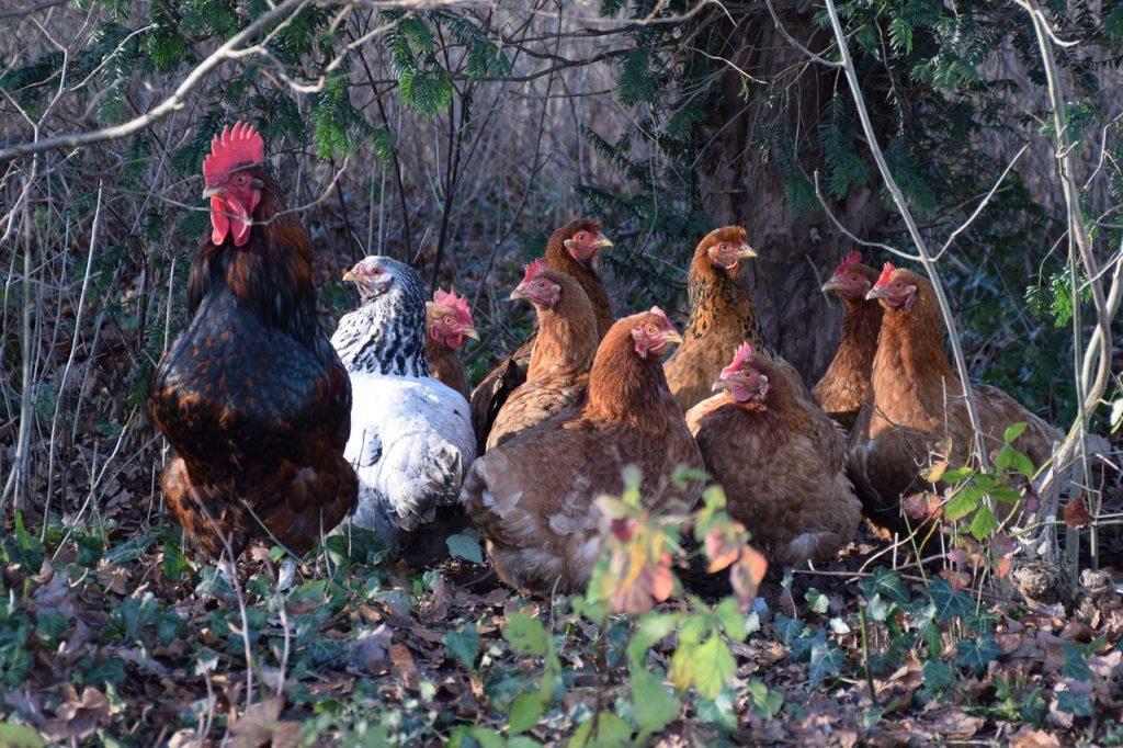 legen hühner im frühjahr weniger eier
