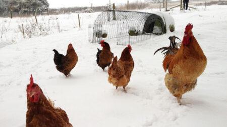 Hühner im Schnee, außerhalb ihres Eglu Go