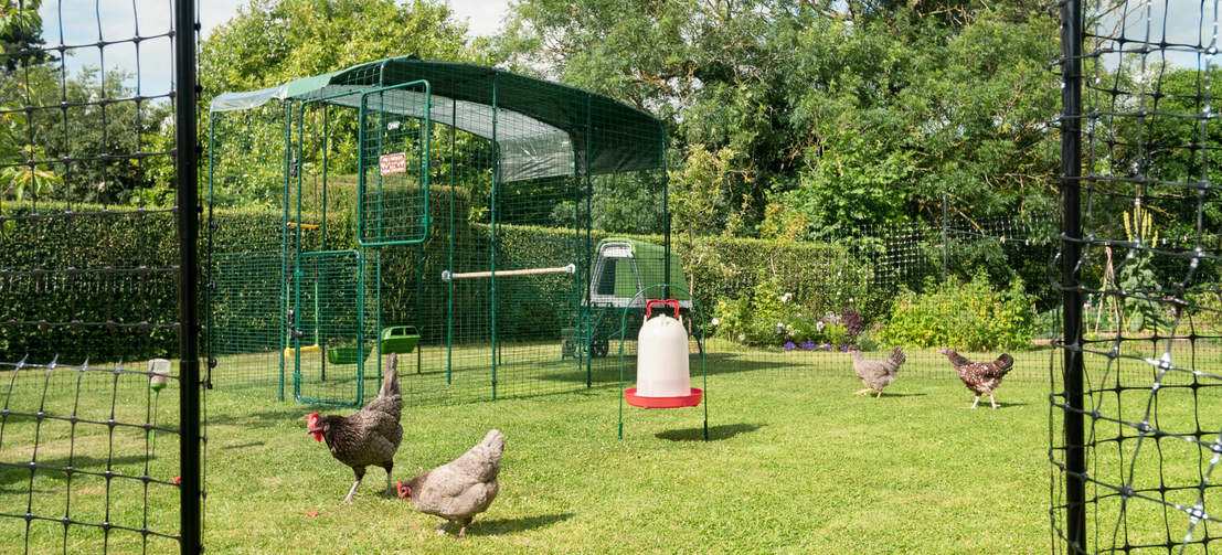Vier Hühner draußen in ihrem begehbaren Gehege