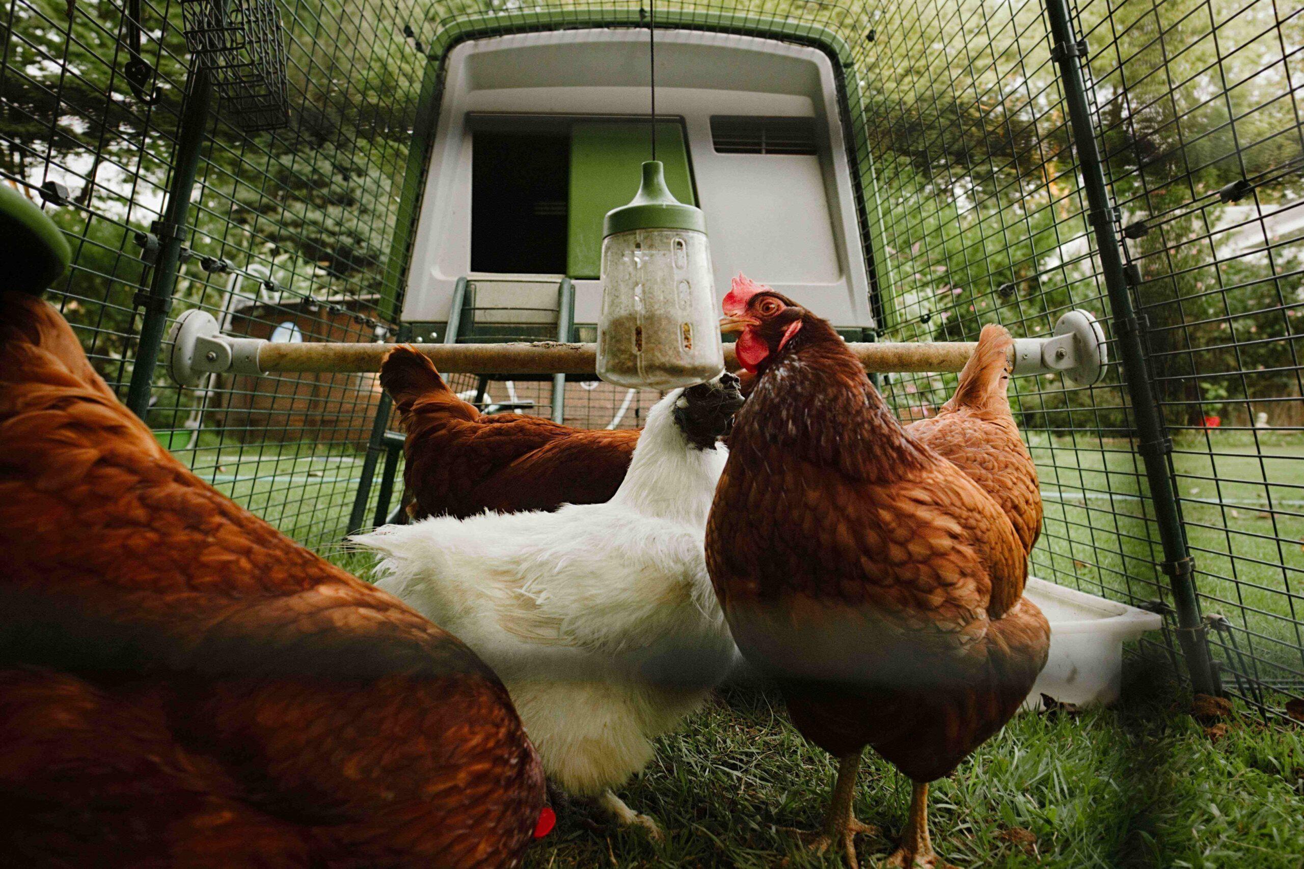 Vier Hennen in ihrem Auslauf mit dem Pickspielzeug von Omlet