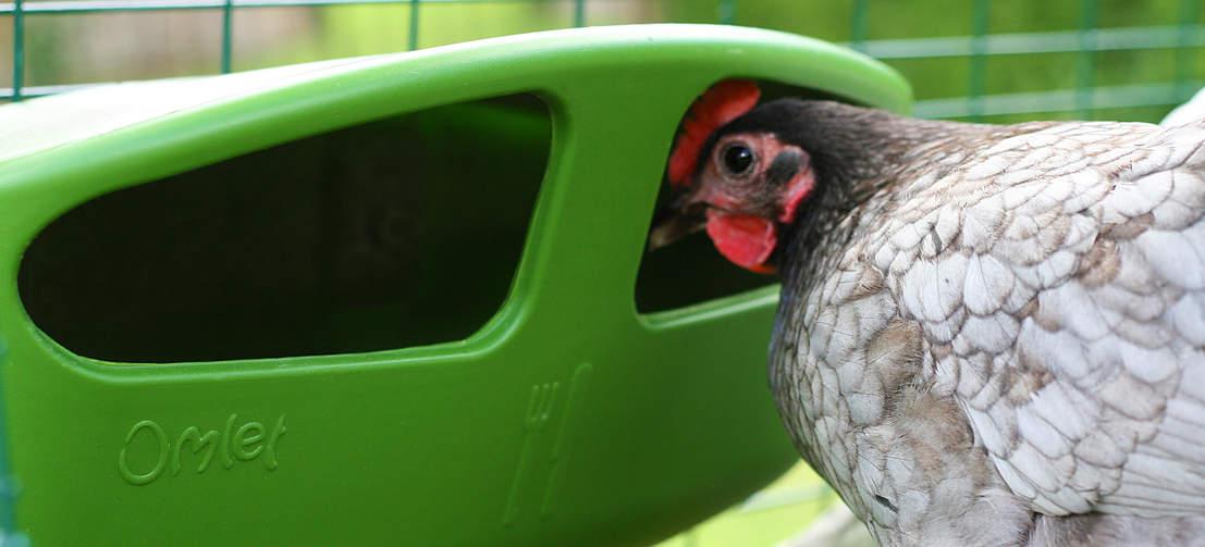 Ein Huhn, das in einen Omlet Futtertrog guckt