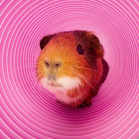 Meerschweinchen schaut aus einem lila Spieltunnel hervor.