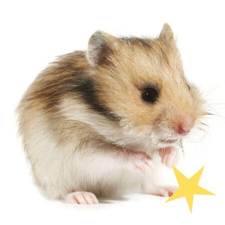 Ein niedlicher Hamster, der sich putzt