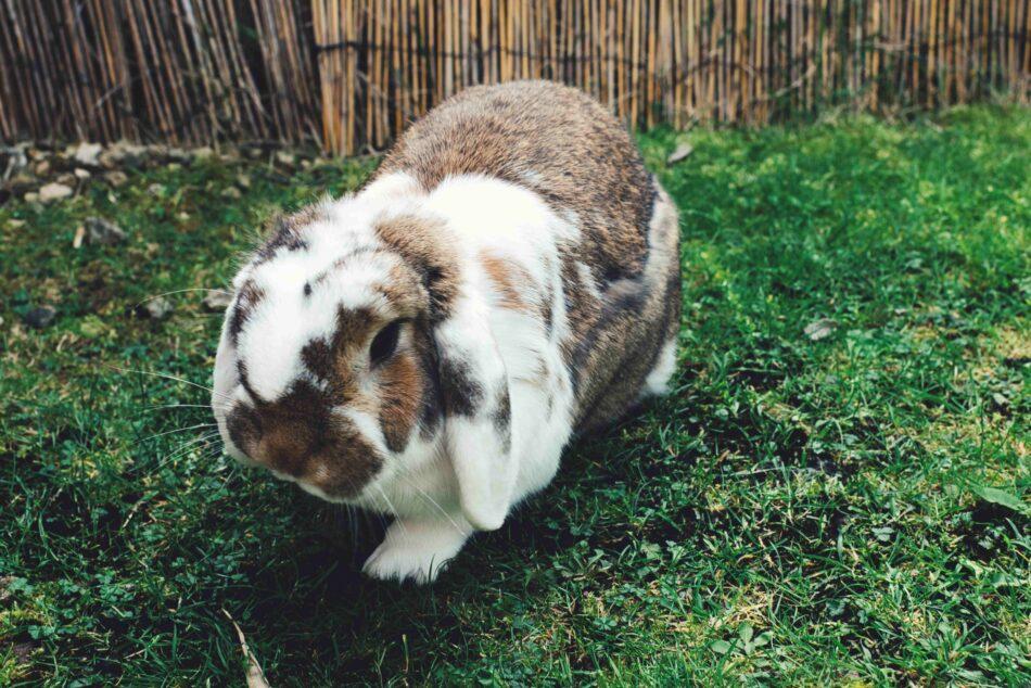 Exemplar einer einer Kaninchenrasse mit Hängeohren, das im Gras läuft
