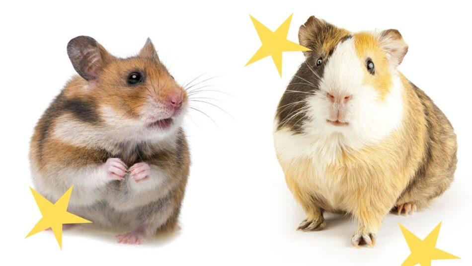 Unterschiede zwischen Hamstern und Meerschweinchen