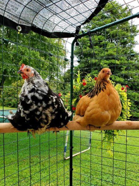 Welche Henne legt? Sitzende Hühner