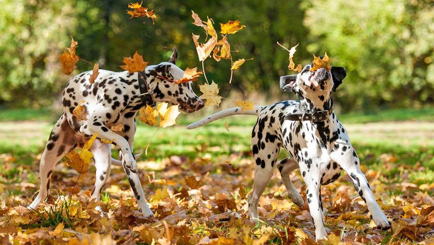 zwei Dalmatiner spielen im Herbstlaub