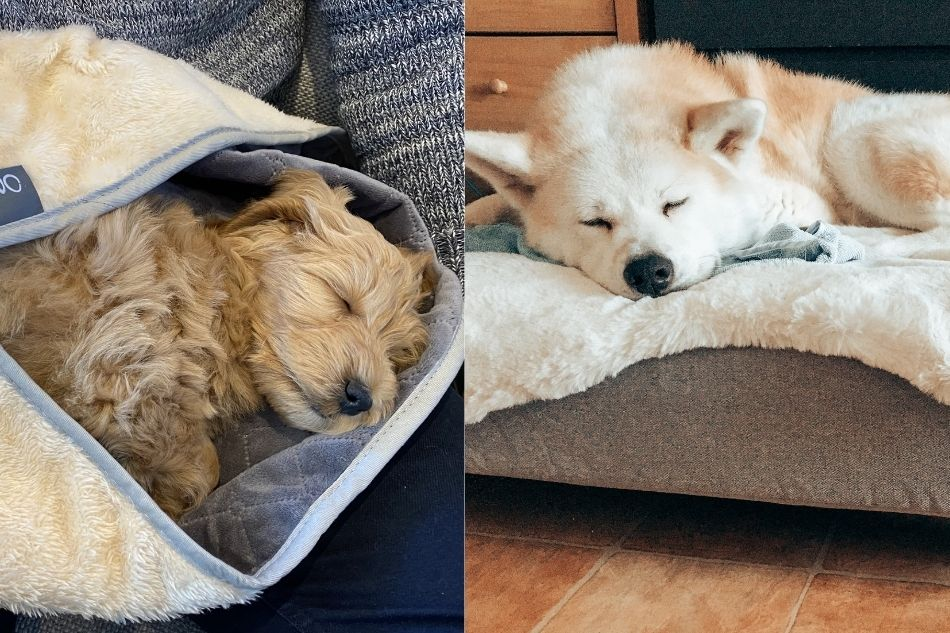 zwei Hunde schlafen nach einem Herbstspaziergang