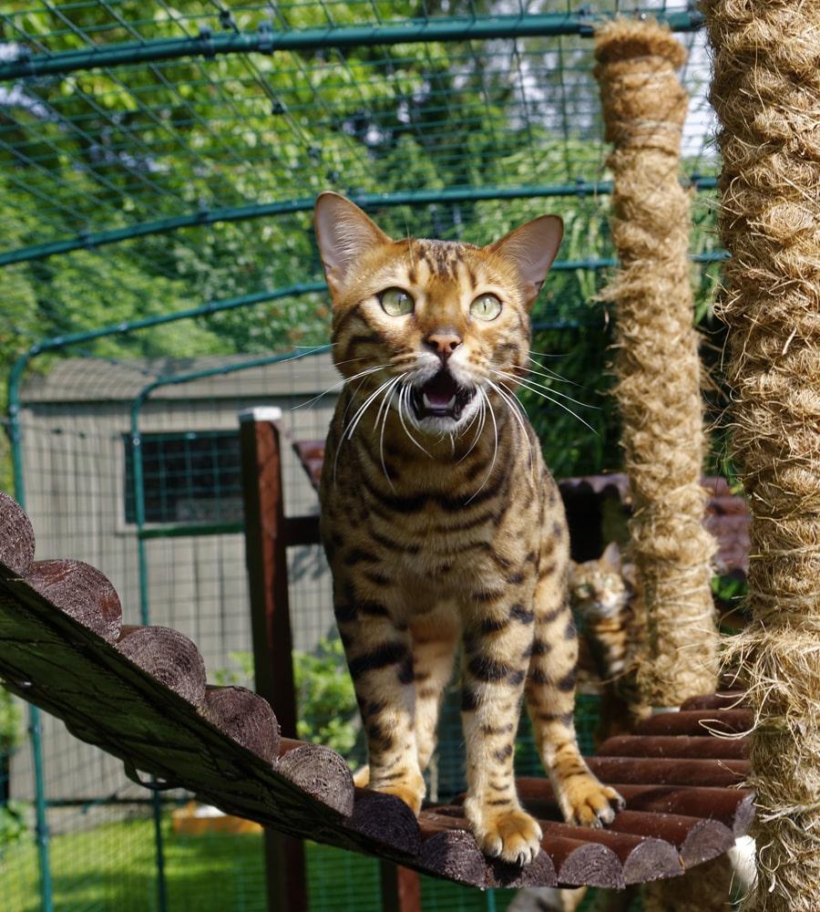 Eine Bengalkatze, die den das begehbare Katzengehege benutzt