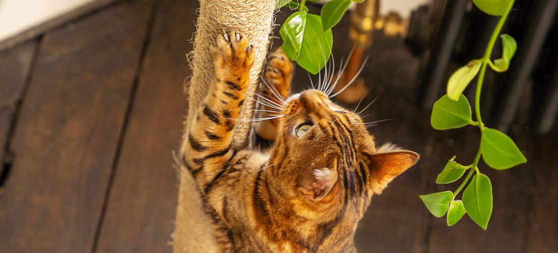 Eine Bengalkatze, die nach oben schaut, während sie am Kratzpfosten des Omlet Kletterbaums kratzt.