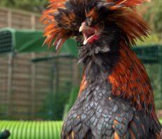 Ein langhaariges schwarz-oranges Huhn mit seinem Schnabel weit geöffnet