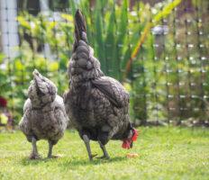 Nahaufnahme von zwei grauen Hühnern, die durchs Gras spazieren