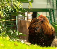 Welche Henne legt? Braune Henne